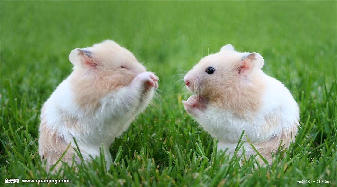 宠物仓鼠到底怕不怕梅雨季的潮湿天气?