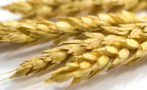 小麦种子的特点
