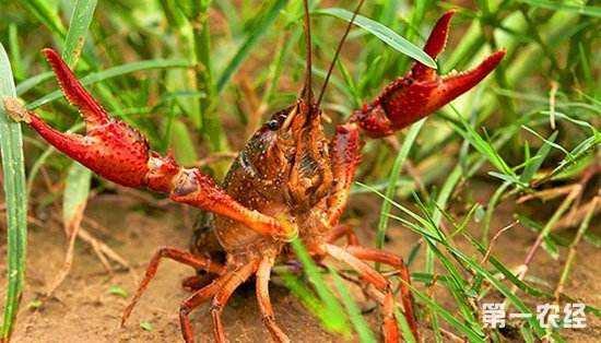 小龙虾种苗的选购与运输